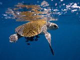 A Sea Turtle Offers Some Protection to Small Fish in the Open Ocean Photographic Print by Ben Horton