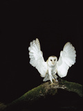Barn Owl (Tyto Alba) on Tree Branch with Wings Spread, Sauvie Island Wildlife Area, Oregon Photographic Print by Michael Durham/Minden Pictures