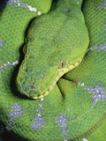 Emerald Tree Boa (Corallus Caninus) Portrait in Rainforest, South America Photographic Print by Michael and Patricia Fogden/Minden Pictures