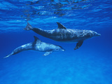 Bottlenose Dolphin (Tursiops Truncatus) Mother and Calf, Gulf of Mexico, Belize Photographic Print by Hiroya Minakuchi/Minden Pictures