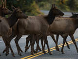 Roosevelt Elk Cross a Road in Prairie Creek Redwoods State Park Photographic Print by National Geographic Photographer