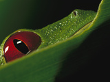 Red-Eyed Tree Frog (Agalychnis Callidryas) Close-Up of Eye, Soberania National Park, Panama Photographic Print by Christian Ziegler/Minden Pictures