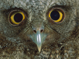 Western Screech Owl (Otus Kennicottii) Detail of Eyes, Central America Photographic Print by Christian Ziegler/Minden Pictures