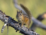 Portrait of a Least Chipmunk, Tamias Miniums, on a Tree Branch Photographic Print by Roy Toft
