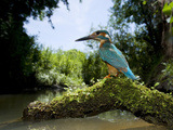 Adult Male Common Kingfisher, Alcedo Atthis, Perches Above a Stream Photographic Print by Joe Petersburger