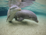 Bottlenose Dolphin (Tursiops Truncatus) Underwater Pair, Hawaii, Captive Animal Fotografisk trykk av Flip Nicklin/Minden Pictures