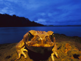 Cane Toad (Bufo Marinus) also known as Marine Toad, Along Shoreline, Barro Colorado Island, Panama Photographic Print by Christian Ziegler/Minden Pictures