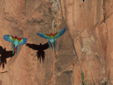 Pair of Green-Winged Macaws, Ara Chloropterus, in Flight Photographic Print by Roy Toft