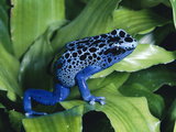 Blue Poison Dart Frog (Dendrobates Azureus) Used to Poison Tips of Arrows, Native to South America Photographic Print by Michael and Patricia Fogden/Minden Pictures