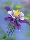 Colorado Blue Columbine (Aquilegia Caerulea) Close Up of Bloom, North America Photographic Print by Tim Fitzharris/Minden Pictures