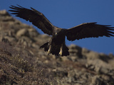 Adult Golden Eagle (Aquia Chrysaetos) , Alaska Photographic Print by Michael S. Quinton