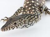 Close Up of a Perentie Monitor&#39;s Head in Studio Setting Photographie par Brooke Whatnall