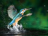 Voksen han-isfugl, Alcedo Atthis, kommer op til overfladen uden fisk Fotografisk tryk af Joe Petersburger