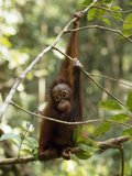 A Juvenile Oranutan, Pongo Pygmaeus, Hangs from a Tree Branch Photographic Print by Tim Laman