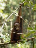 A Juvenile Oranutan, Pongo Pygmaeus, Hangs from a Tree Branch Photographic Print by Tim Laman