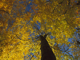 European Beech (Fagus Sylvatica) Trees from Below, Jasmund National Park, Ruegen, Germany Photographic Print by Christian Ziegler/Minden Pictures