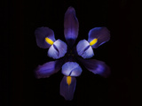 A Single Blue Bearded Iris on a Black Background Photographic Print by Kenneth Ginn