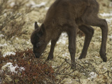 A Newborn Reindeer Calf Tries Out its Shaky Legs on Tundra Lichens Photographic Print by Gordon Wiltsie
