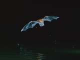 Greater Bulldog or Fishing Bat (Noctilio Leporinus) Hunting Insects, Barro Colorado Island, Panama Photographic Print by Christian Ziegler/Minden Pictures