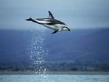 Dusky Dolphin (Lagenorhynchus Obscurus) Leaping Out of Water, New Zealand Photographic Print by Hiroya Minakuchi/Minden Pictures
