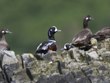 Harlequin Ducks, Histrionicus Histrionicus, Resting on a Rock Photographic Print by Roy Toft