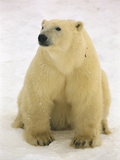 Polar Bear (Ursus Maritimus) Sitting, Hudson Bay, Manitoba, Canada Photographic Print by Flip Nicklin/Minden Pictures