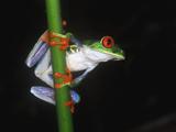 Misfit Leaf Frog (Agalychnis Saltator) Portrait in La Selva, Costa Rica Photographic Print by Christian Ziegler/Minden Pictures