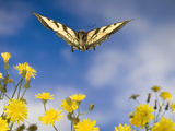 Western Tiger Swallowtail (Papilio Rutulus) Butterfly and Smooth Hawksbeard Flowers, Oregon Photographic Print by Michael Durham/Minden Pictures