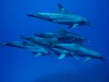 Bottlenose Dolphin (Tursiops Truncatus) Pod Swimming Underwater, Ogasawara Island, Japan Photographic Print by Hiroya Minakuchi/Minden Pictures