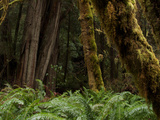 Moss Covered Redwood Trees in Prairie Creek Redwoods State Park Photographic Print by National Geographic Photographer