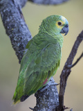 Blue-Fronted Amazon Parrot, Amazona Aestiva, Perched on a Tree Limb Photographic Print by Roy Toft