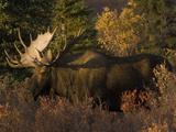 Alaskan Moose: Alces Alces; Denali, Alaska Photographic Print by Michael S. Quinton