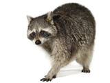 A Raccoon Photographic Print by David Liittschwager