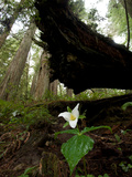 A Trillium Flower Along Ten Taypo Trail Photographic Print by Michael Nichols