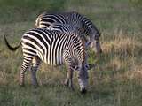 Group of Common Plains Zebra, Equus Quagga, Grazing Photographic Print by Roy Toft