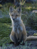 Red Fox Pup in Alaska Photographic Print by Michael S. Quinton