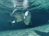 Bottlenose Dolphin (Tursiops Truncatus) Underwater Pair, Hawaii Photographic Print by Flip Nicklin/Minden Pictures
