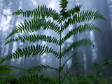 Ferns and Coastal Fog in the Lady Bird Johnson Grove Photographic Print by National Geographic Photographer