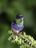 Violet-Crowned Woodnymph (Thalurania Colombica) Hummingbird, Costa Rica Photographic Print by Michael and Patricia Fogden/Minden Pictures
