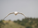 Australian Seagull Flying in the Lower Lakes Area of South Australia Photographic Print by Brooke Whatnall
