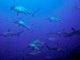 Hammerhead Shark Schooling Off a Seamount Photographic Print by Ben Horton
