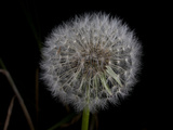 A Dandelion Photographic Print by National Geographic Photographer