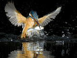 An Adult Female Common Kingfisher, Alcedo Atthis, with a Common Roach Photographie par Joe Petersburger