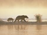 Alaskan Brown or Grizzly Bear (Ursus Arctos) in Early Morning Haze, Katmai National Park, Alaska Photographic Print by Matthias Breiter/Minden Pictures
