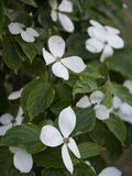 White Dogwood Blossoms on a Tree in Piedmont Park Fotografiskt tryck av Krista Rossow