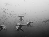 Hammerhead Shark School around a Seamount Deep Below the Surface Photographic Print by Ben Horton