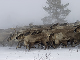 Reindeer Herded by a Komi Clan Charge across the Tundra Through Fog Photographic Print by Gordon Wiltsie