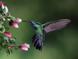 Green Violet-Ear (Colibri Thalassinus) Hummingbird, Heath (Cavendishia Capitulata), Costa Rica Photographic Print by Michael and Patricia Fogden/Minden Pictures