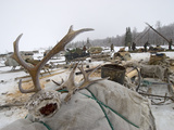 Antlers Dropped by Reindeer in Spring to Be Sold as Chinese Medicine Photographic Print by Gordon Wiltsie