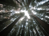 A Redwood Tree Canopy in Humboldt State Park Fotografisk trykk av National Geographic Photographer